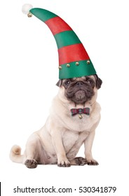 cute pug puppy dog wearing a red and green elf hat with brass bells for christmas, on white background