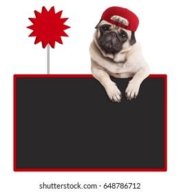 cute pug puppy dog wearing red cap, hanging with paws on blank blackboard with sale sign, isolated on white background