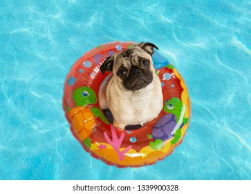 Cute pug puppy floating in a pool with an inflatable ring
