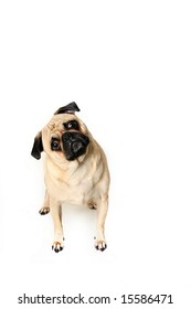 Cute Pug Puppy isolated on white background.