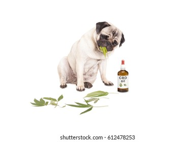 cute pug puppy pet dog eating weed leaves, Cannabis sativa, sitting next to dropper bottle with CBD oil for animals, isolated on white background