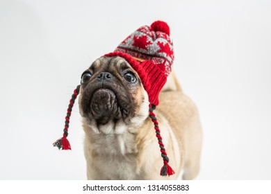 Cute pug puppy wearing a winter hat with red maple leaves