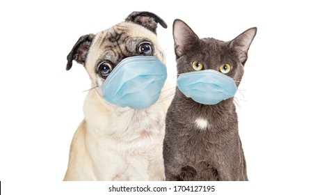 Cute Pug purebred dog and grey cat wearing protective surgical face masks  looking forward at camera isolated on white background