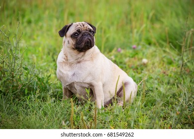 The cute pug sits on the grass in the summer