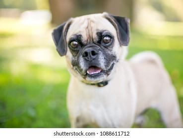 A cute Pug/Beagle mixed breed dog outdoors