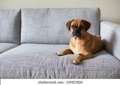 Cute Puggle Looking at Camera While Laying on Grey Sofa