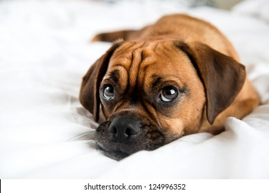 Cute Puggle Sleeping in Owners Bed on White Sheets