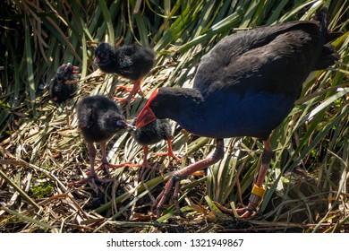 Cute Pukeko family, mother feeding chicks