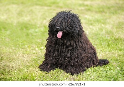 Cute puli dog in the park. Dog portrait
