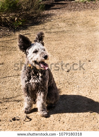 Cute Pumi Puppy Panting Stock Photo Edit Now 1079180318 Shutterstock