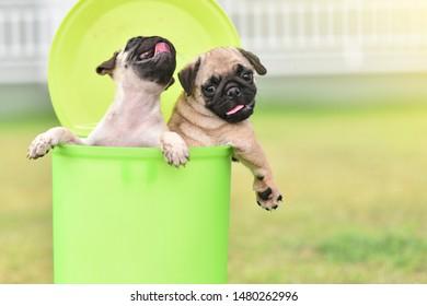 Cute puppies brown Pug playing in green bin