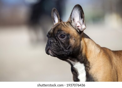 Cute puppies french bulldog on the sea