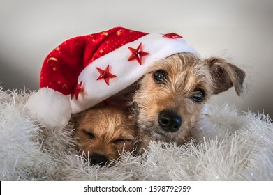Cute puppies playing under red christmas hat