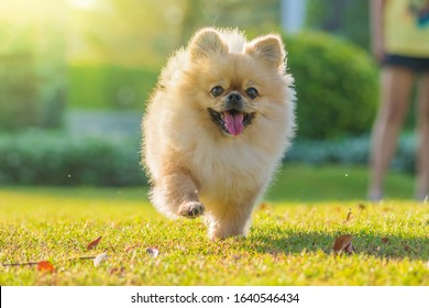 Cute puppies Pomeranian Mixed breed Pekingese dog run on the grass with happiness.