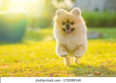 Cute puppies Pomeranian Mixed breed Pekingese dog run on the grass with happiness. - Shutterstock ID 1732989149