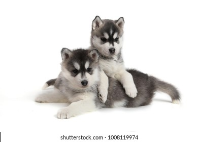 Cute puppies Siberian husky black and white