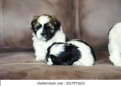 Cute puppies are sitting on the couch