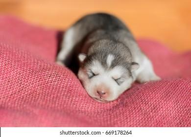 Cute Puppy Alaskan Malamute 5 days