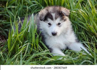 cute puppy of alaskan malamute dog in the grass