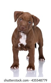 Cute puppy American Pit Bull Terrier on a white background