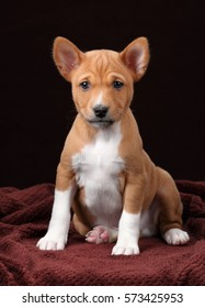 Cute puppy basenji on a brown background