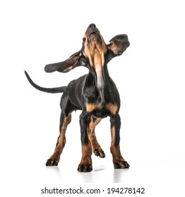 cute puppy - black and tan coonhound looking up