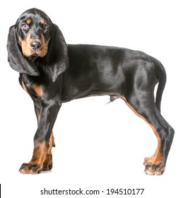 cute puppy - black and tan coonhound standing on white background