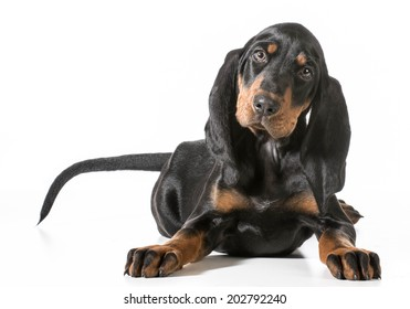 cute puppy - black and tan coonhound laying down on white background