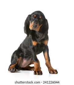 cute puppy - black and tan coonhound sitting looking at viewer