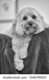 Cute Puppy Black and White Cavapoo