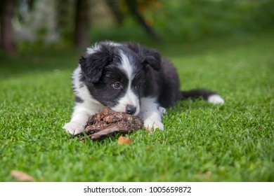 Cute puppy of border collie lying on green lawn
