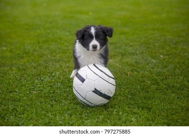Cute puppy of border collie on green lawn playing football
