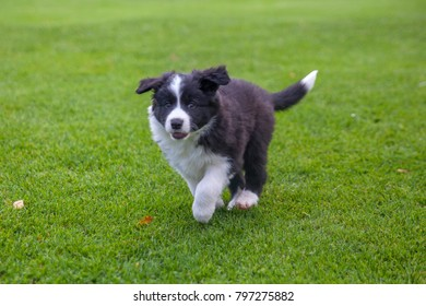 Cute puppy of border collie running on green lawn