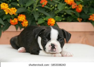 Cute Welpe Boston Terrier liegt vor Blumen