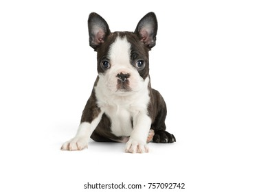 Cute puppy Boston Terrier on white background