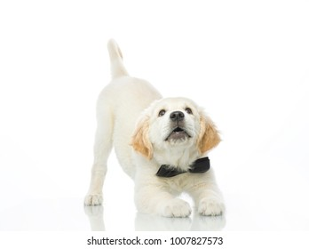 cute puppy in bown tie isolated on white studio shot retriever playing stretching himself