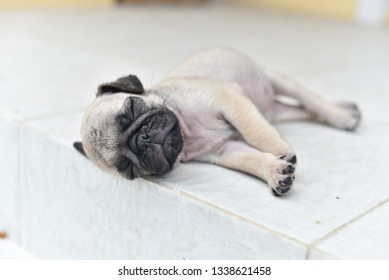 Cute puppy brown Pug sleeping in front of house after eat feed
