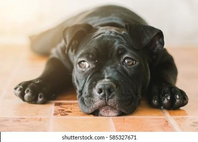 Cute puppy Bully dog on blur background.