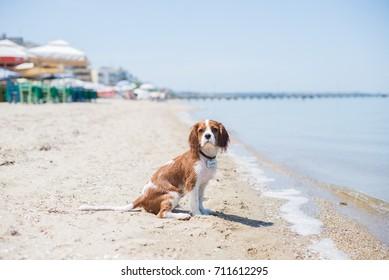 Cute puppy cavalier king charles spaniel sitting alone on the empty beach