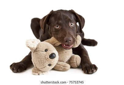 Cute puppy Puppy chewing on stuffed animal. picture on white background