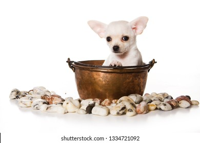 Cute puppy of chihuahua dog in a saucepan (isolated on white)