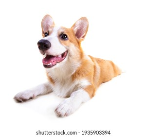 Cute Puppy Corgi Pembroke isolate on white background.