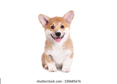 Cute Puppy Corgi Pembroke on a white background