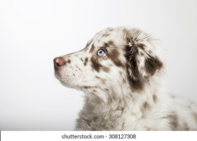 The cute puppy dog of Australian Shepherd, waiting, in profile
