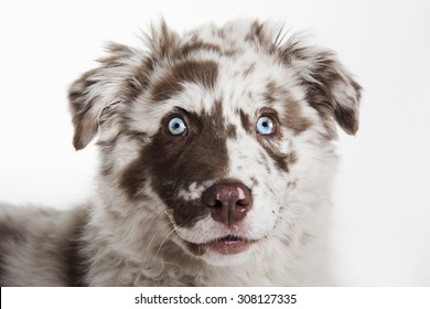 The cute puppy dog of Australian Shepherd,isolated on white background, waiting and smiling