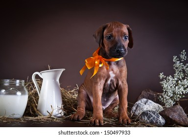 cute puppy dog in the decorations  Rhodesian Ridgeback