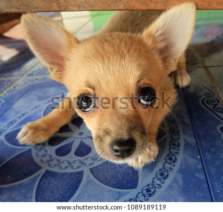 Cute Puppy Dog Eyes Looking You Stock Photo Edit Now 1089189119