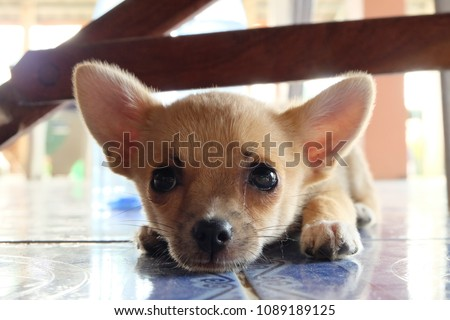 Cute Puppy Dog Eyes Looking You Stock Photo Edit Now 1089189125