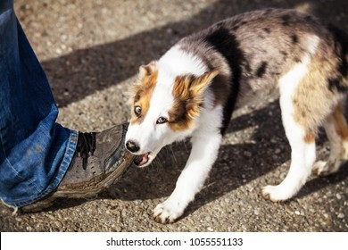 cute puppy dog is gnawing on a humans shoe, outdoor on a street