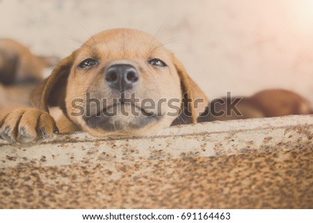 Cute Puppy Dog Looking Owner Coming Stock Photo Edit Now 691164463
